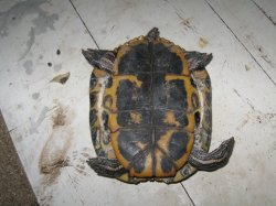 Техніка розтину черепах